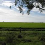 plantacion de arroz
